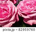 ピンクのバラのアップ 82959760