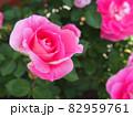 ピンクのバラ 82959761