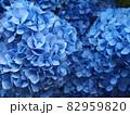 真っ青の美しい紫陽花のアップ 82959820