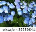 可愛らしい梅雨の紫陽花 82959841