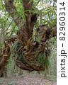屋久島の森(4月)まるでドラゴンのようなアコウ 82960314