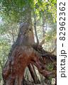 屋久島白谷雲水峡の森(1月)木漏れ日に映える屋久杉くぐり杉 82962362