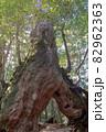 屋久島白谷雲水峡の森(1月)木漏れ日に映える屋久杉くぐり杉 82962363