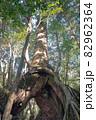 屋久島白谷雲水峡の森(1月)木漏れ日に映える屋久杉くぐり杉 82962364