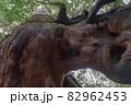 屋久島白谷雲水峡の森(11月)屋久杉くぐり杉 82962453