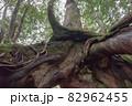 屋久島白谷雲水峡の森(11月)屋久杉くぐり杉 82962455