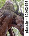 屋久島白谷雲水峡の森(11月)屋久杉くぐり杉 82962456