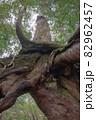 屋久島白谷雲水峡の森(11月)屋久杉くぐり杉 82962457