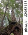 屋久島白谷雲水峡の森(11月)屋久杉くぐり杉 82962458