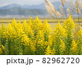 セイタカアワダチソウ 田舎の風景 82962720