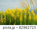 セイタカアワダチソウ 田舎の風景 82962725