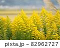 セイタカアワダチソウ 田舎の風景 82962727