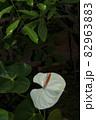 観葉植物、アンスリウム属の白い花風景 82963883
