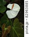 観葉植物、アンスリウム属の白い花風景-2 82963885