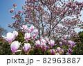朱木蓮、満開の春風景 82963887