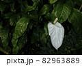観葉植物、アンスリウム属の白い花風景-3 82963889