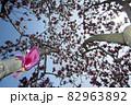 朱木蓮、満開の春風景-2 82963892