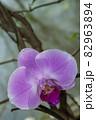 胡蝶蘭、赤紫色のアップ写真風景-2 82963894