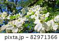 ハナミズキと青空の風景 82971366