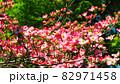 ハナミズキのある風景 82971458