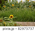 咲き誇る向日葵・鶴見緑地 82973737