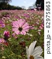 コスモス畑の中で光るピンク色のコスモス 82975863