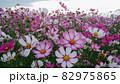 沢山咲くコスモス 82975865