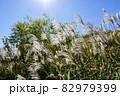 ススキ(イネ科ススキ属) 82979399