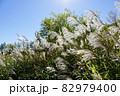 ススキ(イネ科ススキ属) 82979400