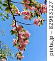関山/八重桜と青空 (乙川/愛知県岡崎市) 82983127