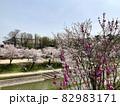 桜と花桃 (伊賀川/愛知県岡崎市) 82983171