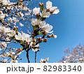 桜と青空 (乙川/愛知県岡崎市) 82983340
