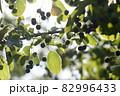 ヒトツバタゴの葉と実 82996433