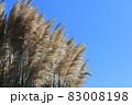 パンパスグラス 西洋ススキ シロガネヨシ 83008198