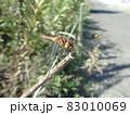 草花の枝に止まったアカトンボ 83010069