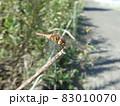 街路樹の枝にとまっていた赤トンボ 83010070