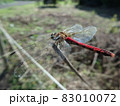 大きく羽を広げて枝に止まったアカトンボ 83010072