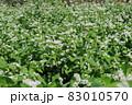 ソバの花 白い蕎麦の花 満開のそばの花 83010570
