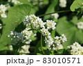 ソバの花 白い蕎麦の花 満開のそばの花 83010571
