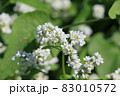 ソバの花 白い蕎麦の花 満開のそばの花 83010572