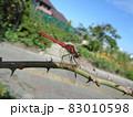 バラの枝に止まっているアカトンボ 83010598