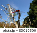 枝に掴まり止まっている赤とんぼ 83010600