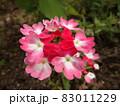 街路桝のピンクのビジョザクラ 83011229