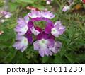 紫色が美しいビジョザクラの花 83011230