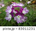 街路桝に咲いていたきれいなバーベナ 83011231