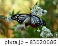 アサギマダラ 83020086