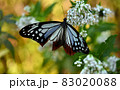 アサギマダラ 83020088