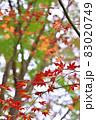 晩秋に輝く紅葉 83020749