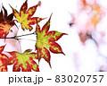 晩秋に輝く紅葉 83020757