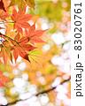 晩秋に輝く紅葉 83020761